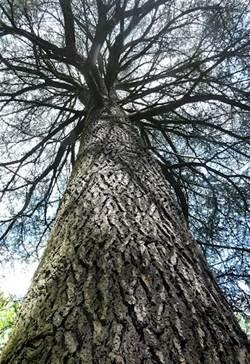 树干年轻时树皮光滑, 成年时为深灰色, 有深裂纹.