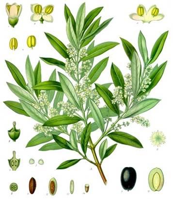 油橄榄树(olive tree)